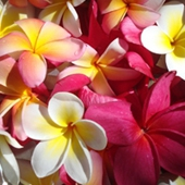Three Sweet Frangipani
