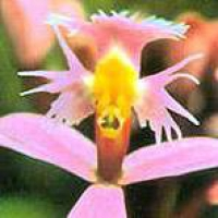 Angel Orchid