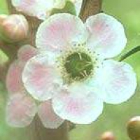 Peach-Flowered Tea Tree